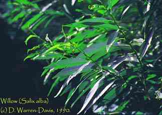 the willow is a lunar herb